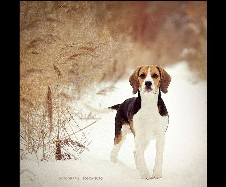 dog beagle guilty wallpapers - photo #27
